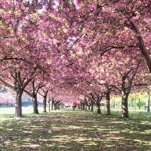 Cerejeiras japonesas, Jardim Botânico do Brooklyn, NYC.