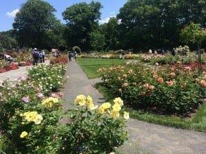 Jardines de rosas, Jardim Botanico del Bronx, NY.