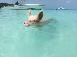 The swimming pigs of Exuma how to get to Pig Island