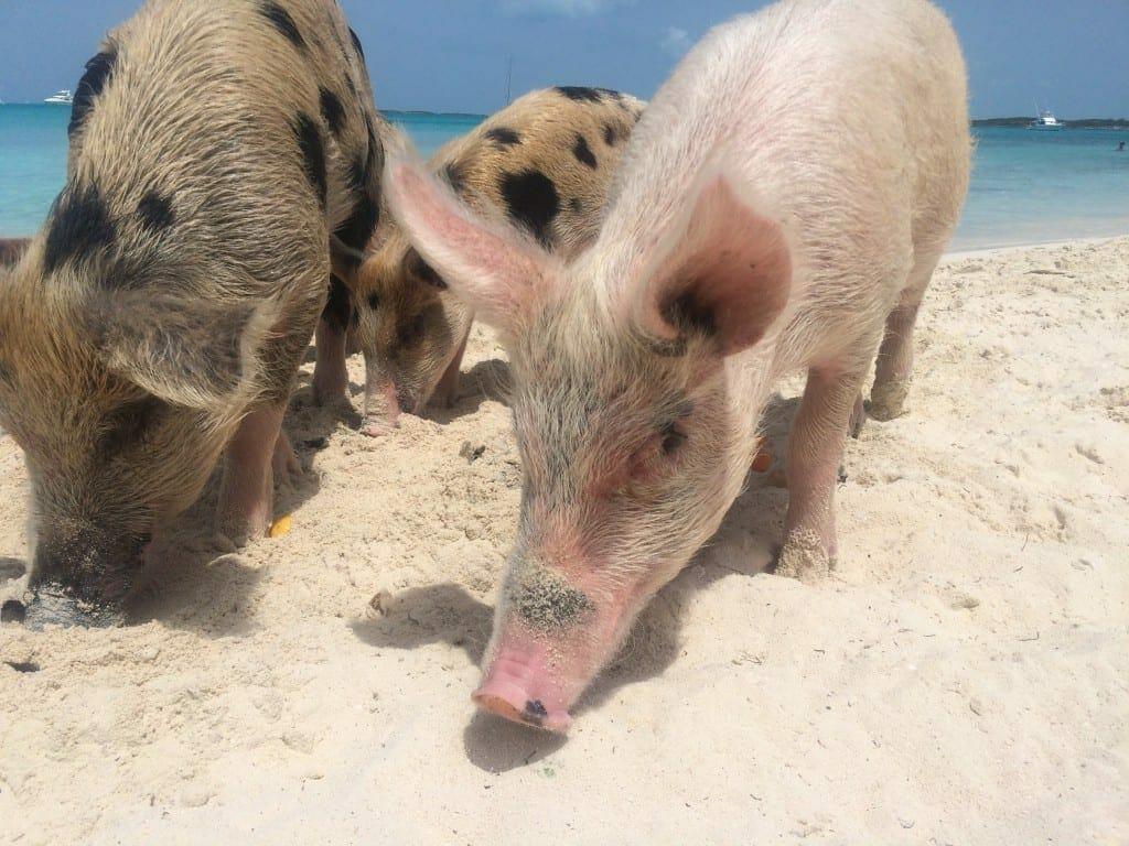 Cerdos de todos los colores en Pig Beach, Bahamas.