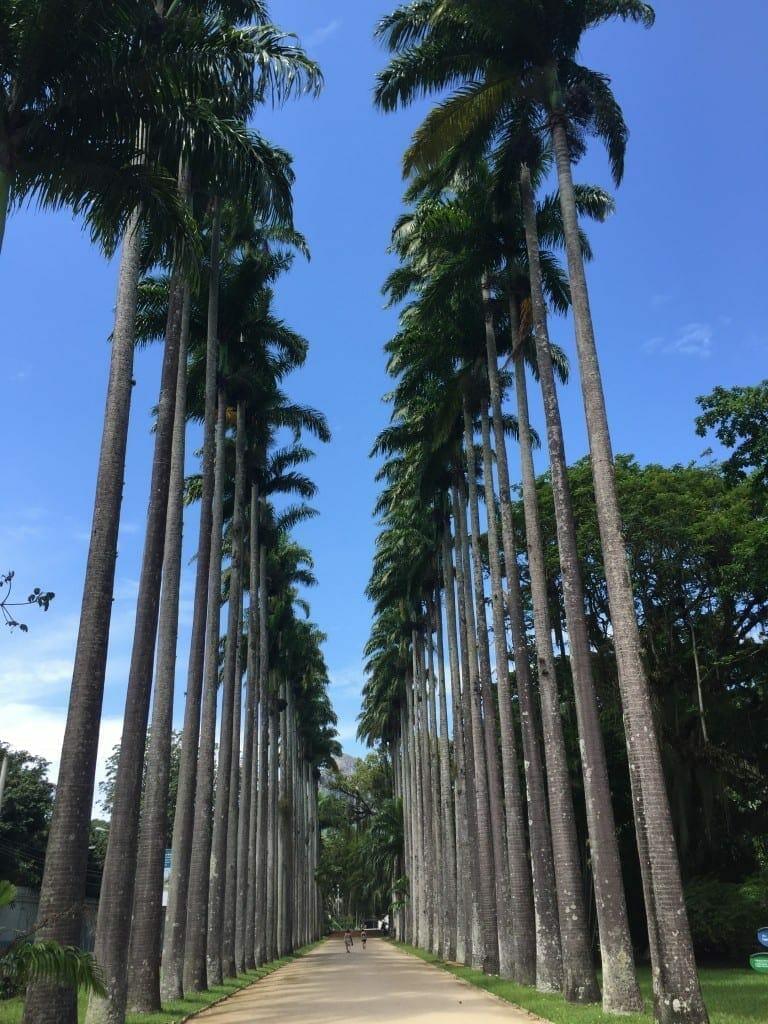 Imperial Palm trees at Rio Botanical Garden, Rio de Janeiro.
