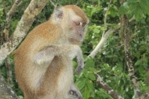 Plenty of monkeys in Koh Dong islands.
