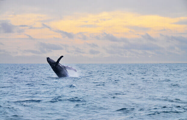 Whale Watching at Abrolhos, Bahia South Coast, Brazil