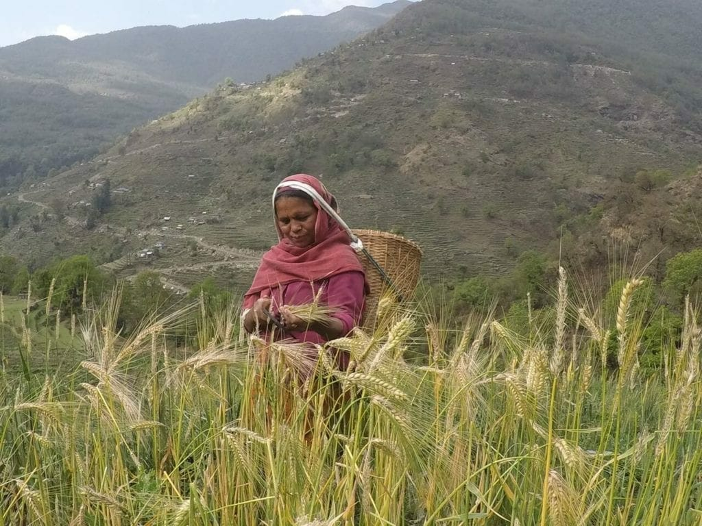 Uma nepalesa trabalhando nos arrozais.