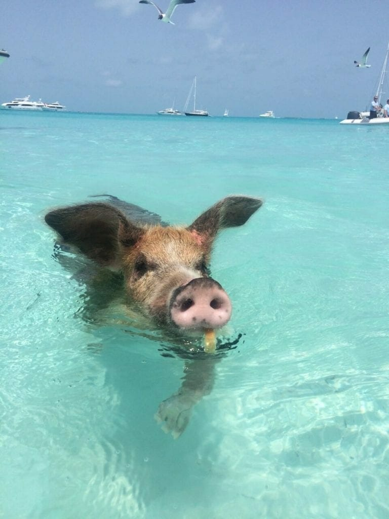 how to get to Pig beach swimming with sharks in the bahamas