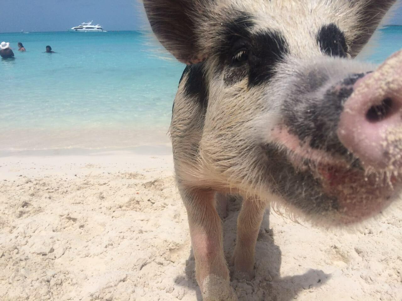 como llegar a la isla de los cerdos