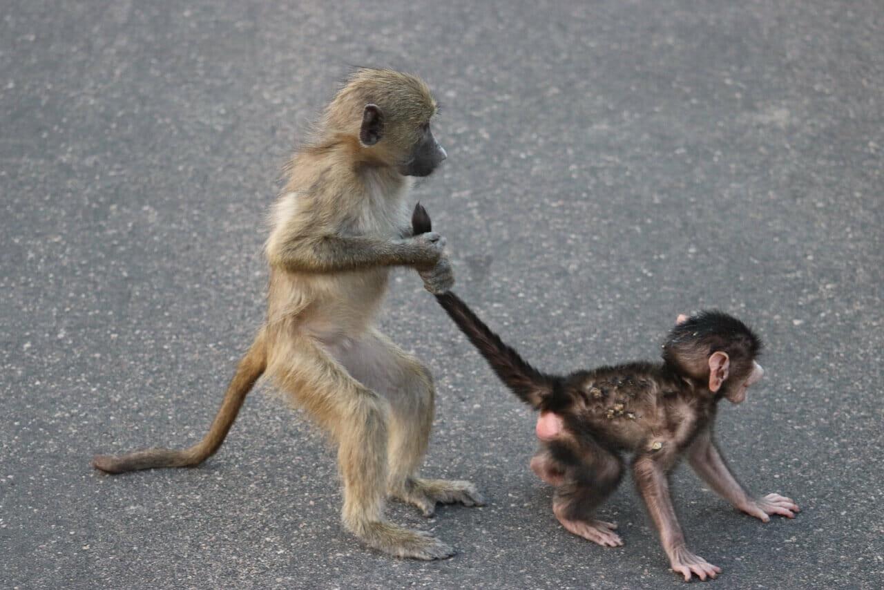 macacos brincando no Parque Kruger