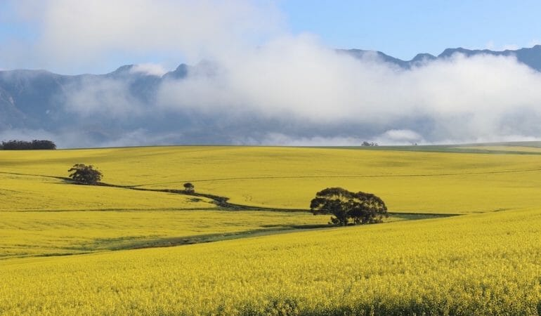 The Overberg's fields are covered with canola flowers from July to September
