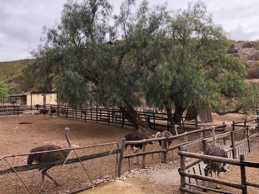 ostrich-farm-garden-route