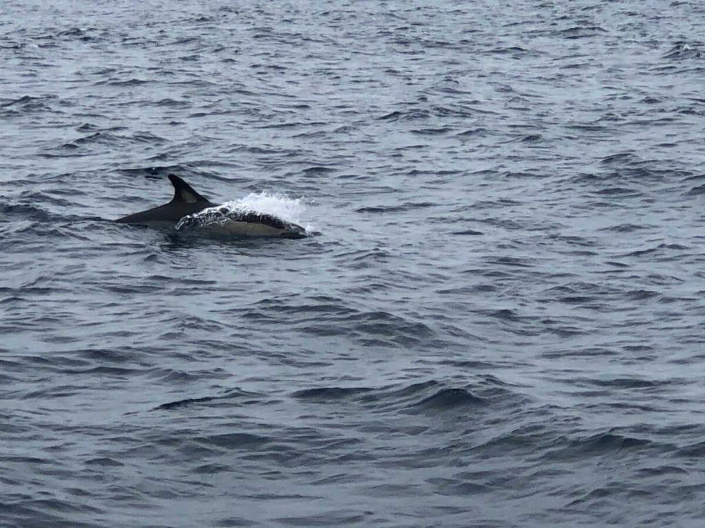 Avistamiento de delfines, Algarve